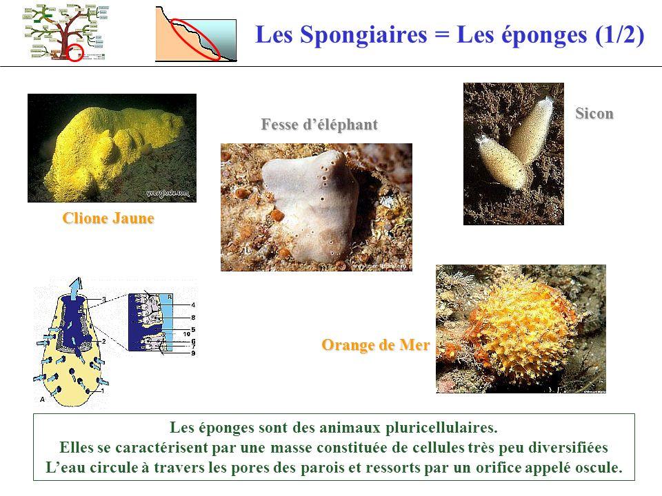 Les Spongiaires = Les éponges (2/2) La reproduction suivant les éponges est soit : Sexuée : Par des larves ciliées (1mm) qui nagent quelques heures avant de se fixer Asexuée : Par bourgeonnement Tube de Fer Éponges encroutantes Mousse de carotte