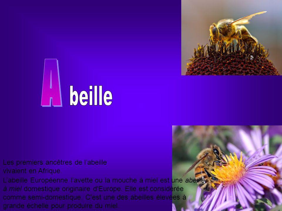 Labeille Européenne lavette ou la mouche à miel est une abeille à miel domestique originaire d'Europe. Elle est considérée comme semi-domestique. C'es