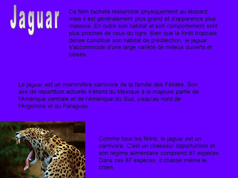 Le jaguar est un mammifère carnivore de la famille des Félidés. Son aire de répartition actuelle s'étend du Mexique à la majeure partie de l'Amérique
