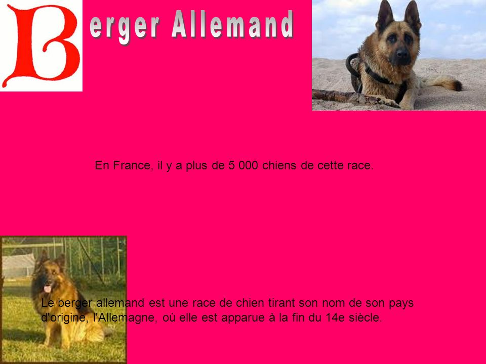 Le berger allemand est une race de chien tirant son nom de son pays d'origine, l'Allemagne, où elle est apparue à la fin du 14e siècle. En France, il