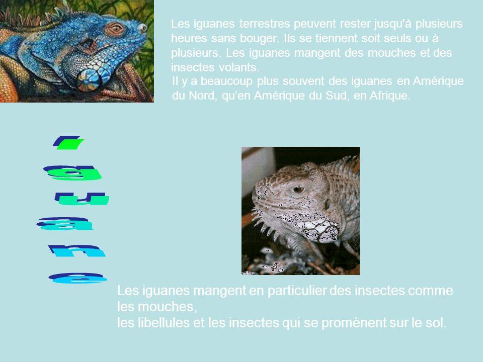 Les iguanes terrestres peuvent rester jusqu'à plusieurs heures sans bouger. Ils se tiennent soit seuls ou à plusieurs. Les iguanes mangent des mouches