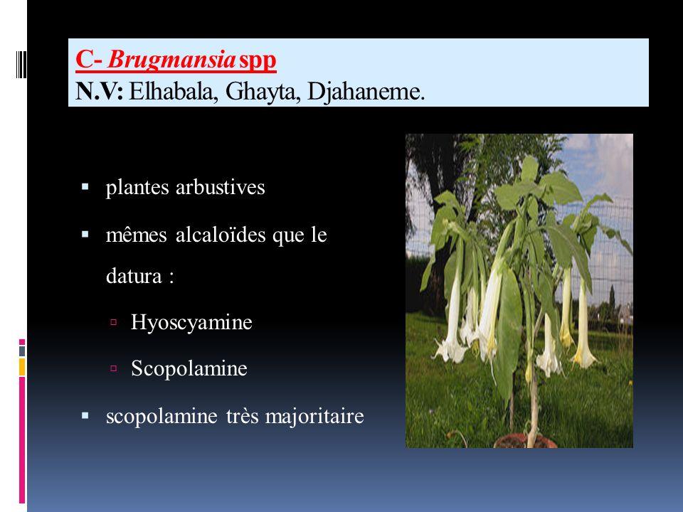 Feuille : Hyoscyamine/atropine 90 à 95 % Racine : 0.4-0.8% des alcaloïdes absence de latropine + présence dune quantité de belladonine et datropamine