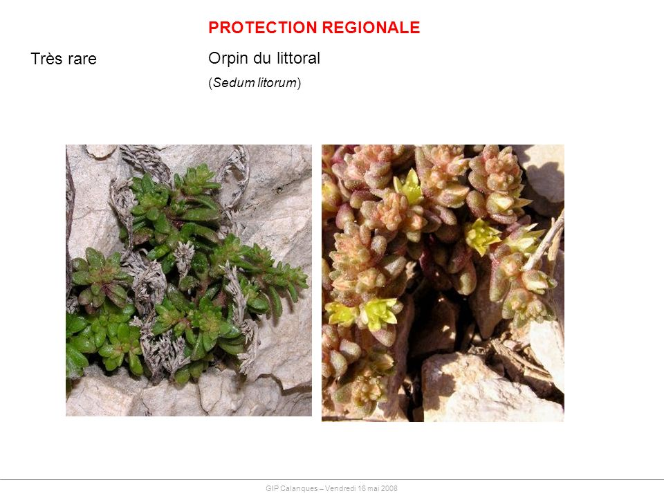 PROTECTION REGIONALE Orpin du littoral (Sedum litorum) GIP Calanques – Vendredi 16 mai 2008 Très rare