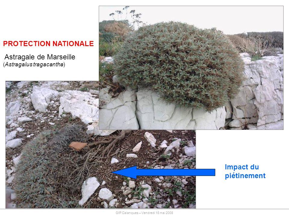 PROTECTION NATIONALE Astragale de Marseille (Astragalus tragacantha) Impact du piétinement GIP Calanques – Vendredi 16 mai 2008