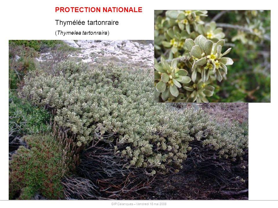 PROTECTION NATIONALE Thymélée tartonraire (Thymelea tartonraira) GIP Calanques – Vendredi 16 mai 2008