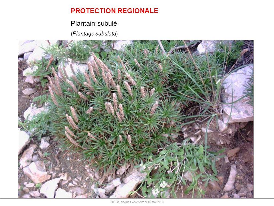 PROTECTION REGIONALE Plantain subulé (Plantago subulata) GIP Calanques – Vendredi 16 mai 2008