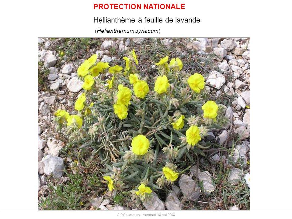 PROTECTION NATIONALE Hellianthème à feuille de lavande (Helianthemum syriacum) D. Pavon GIP Calanques – Vendredi 16 mai 2008