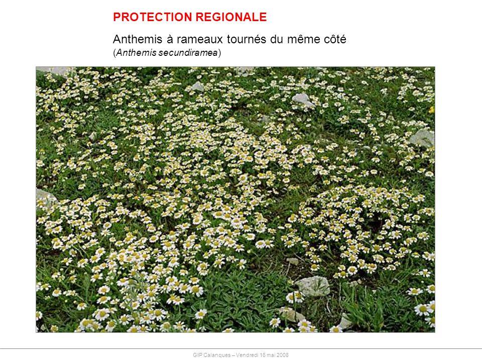 PROTECTION REGIONALE Anthemis à rameaux tournés du même côté (Anthemis secundiramea) GIP Calanques – Vendredi 16 mai 2008