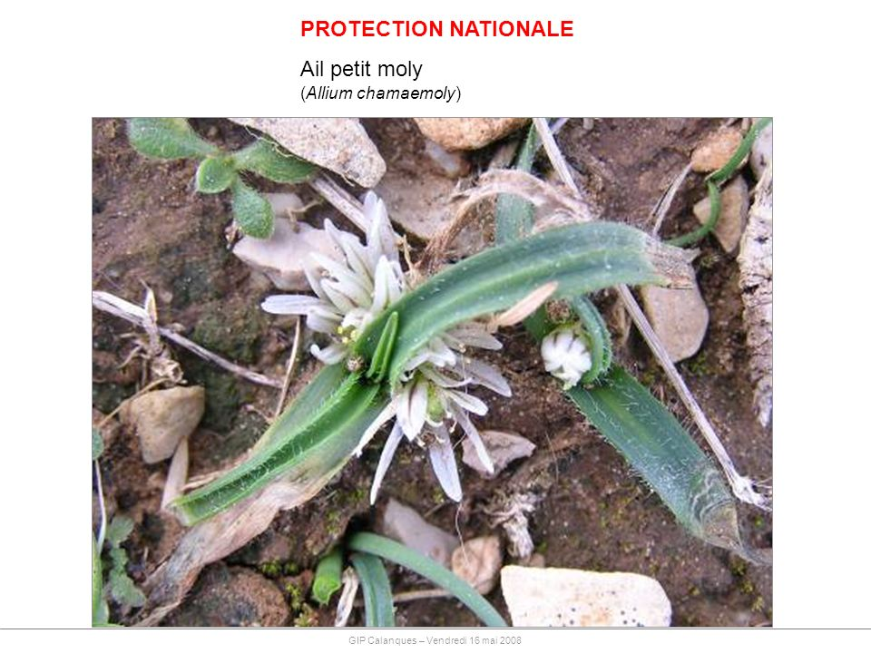 PROTECTION NATIONALE Ail petit moly (Allium chamaemoly) GIP Calanques – Vendredi 16 mai 2008