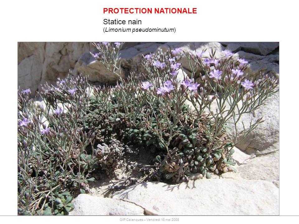 PROTECTION NATIONALE Statice nain (Limonium pseudominutum) GIP Calanques – Vendredi 16 mai 2008