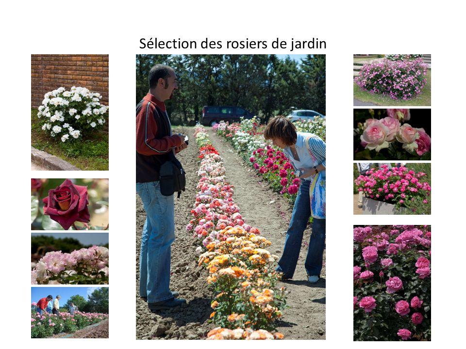 Sélection des rosiers de jardin