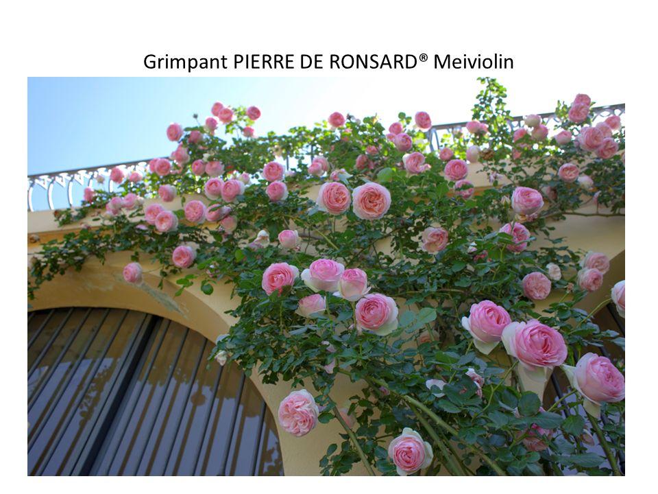 Grimpant PIERRE DE RONSARD® Meiviolin
