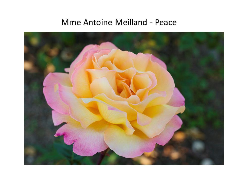 Mme Antoine Meilland - Peace