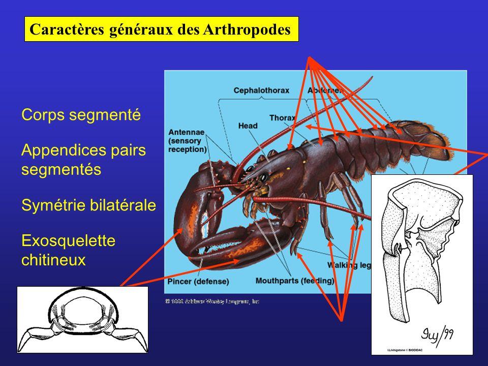 Caractères généraux des Arthropodes Corps segmenté Appendices pairs segmentés Symétrie bilatérale Exosquelette chitineux