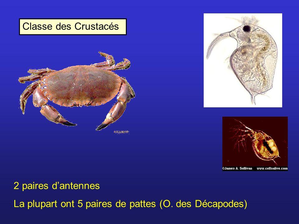 Classe des Crustacés 2 paires dantennes La plupart ont 5 paires de pattes (O. des Décapodes)