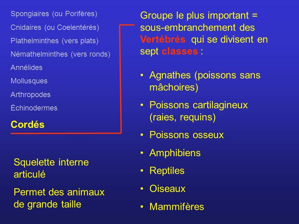 Spongiaires (ou Porifères) Cnidaires (ou Coelentérés) Plathelminthes (vers plats) Némathelminthes (vers ronds) Annélides Mollusques Arthropodes Échino