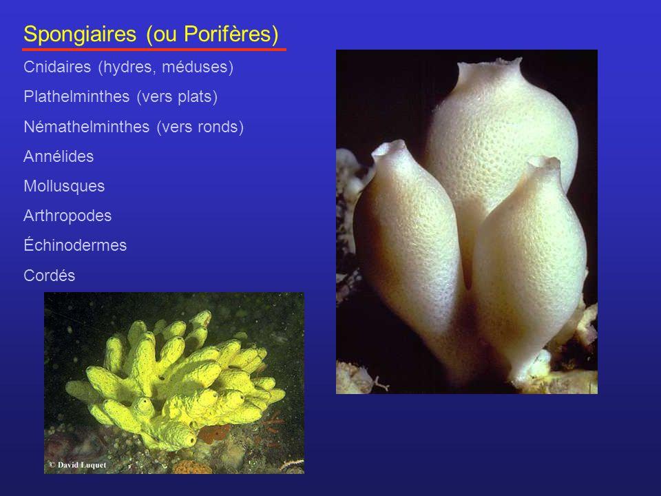 Spongiaires (ou Porifères) Cnidaires (hydres, méduses) Plathelminthes (vers plats) Némathelminthes (vers ronds) Annélides Mollusques Arthropodes Échin