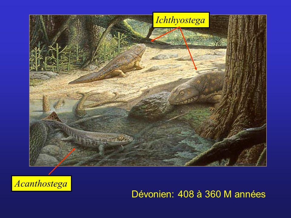 Acanthostega Ichthyostega Dévonien: 408 à 360 M années