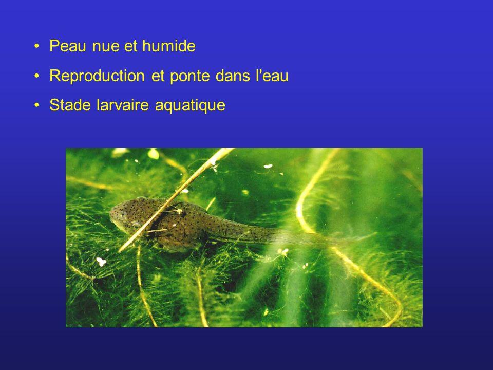 Peau nue et humide Reproduction et ponte dans l'eau Stade larvaire aquatique