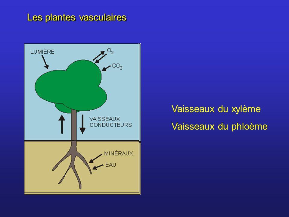 Les plantes vasculaires Vaisseaux du xylème Vaisseaux du phloème