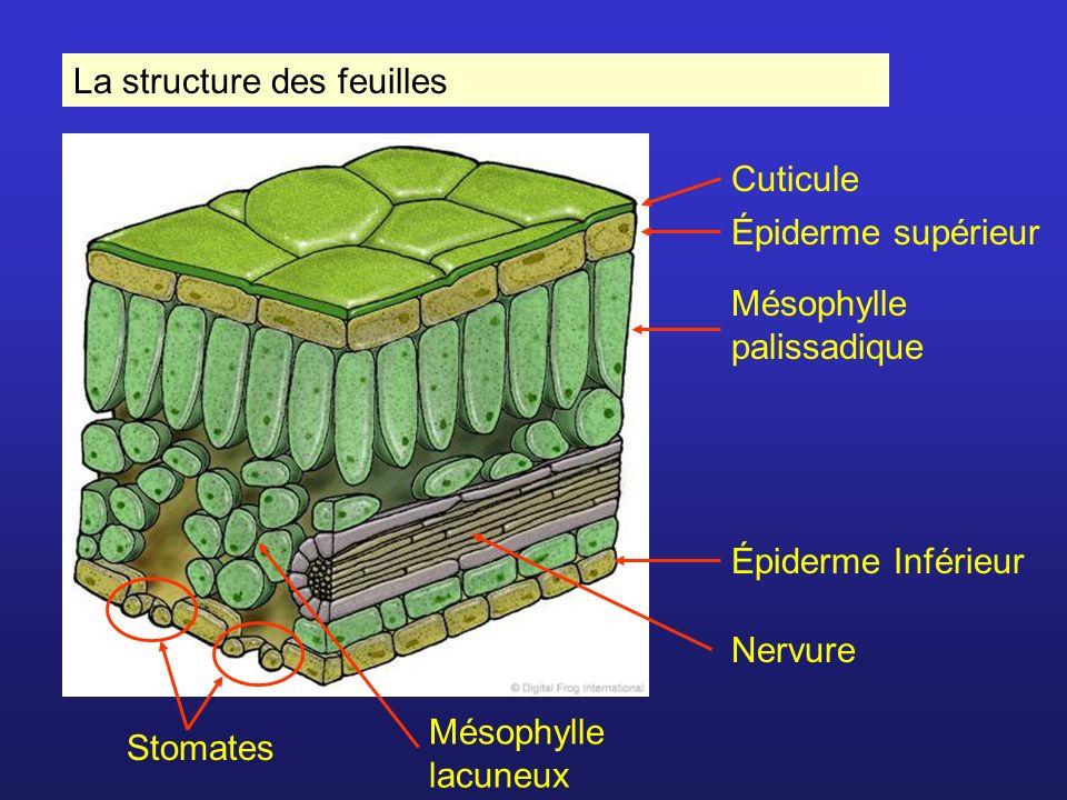 La structure des feuilles Cuticule Épiderme supérieur Épiderme Inférieur Nervure Stomates Mésophylle palissadique Mésophylle lacuneux