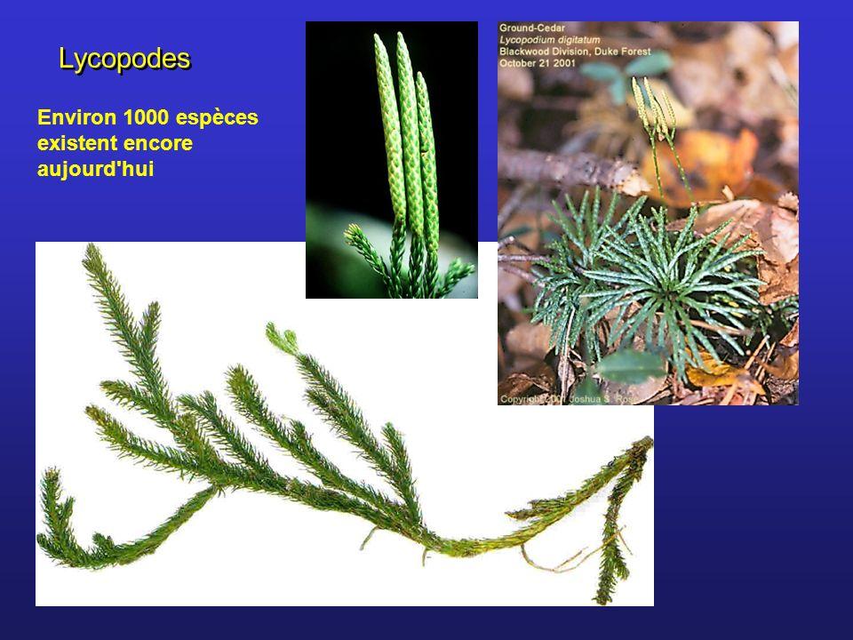 Lycopodes Environ 1000 espèces existent encore aujourd'hui