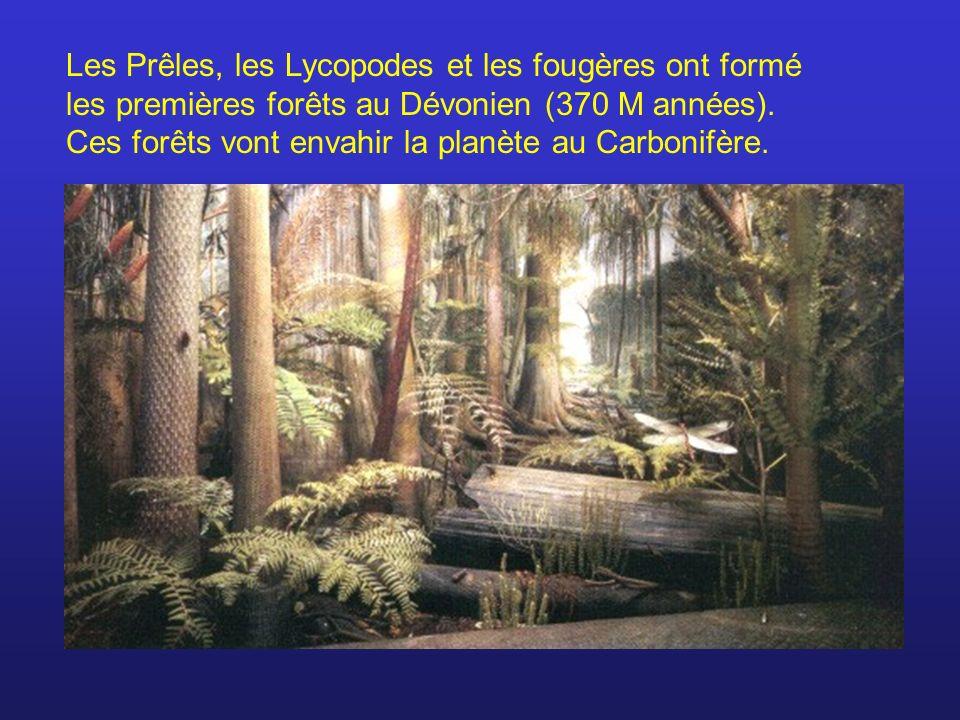 Les Prêles, les Lycopodes et les fougères ont formé les premières forêts au Dévonien (370 M années). Ces forêts vont envahir la planète au Carbonifère