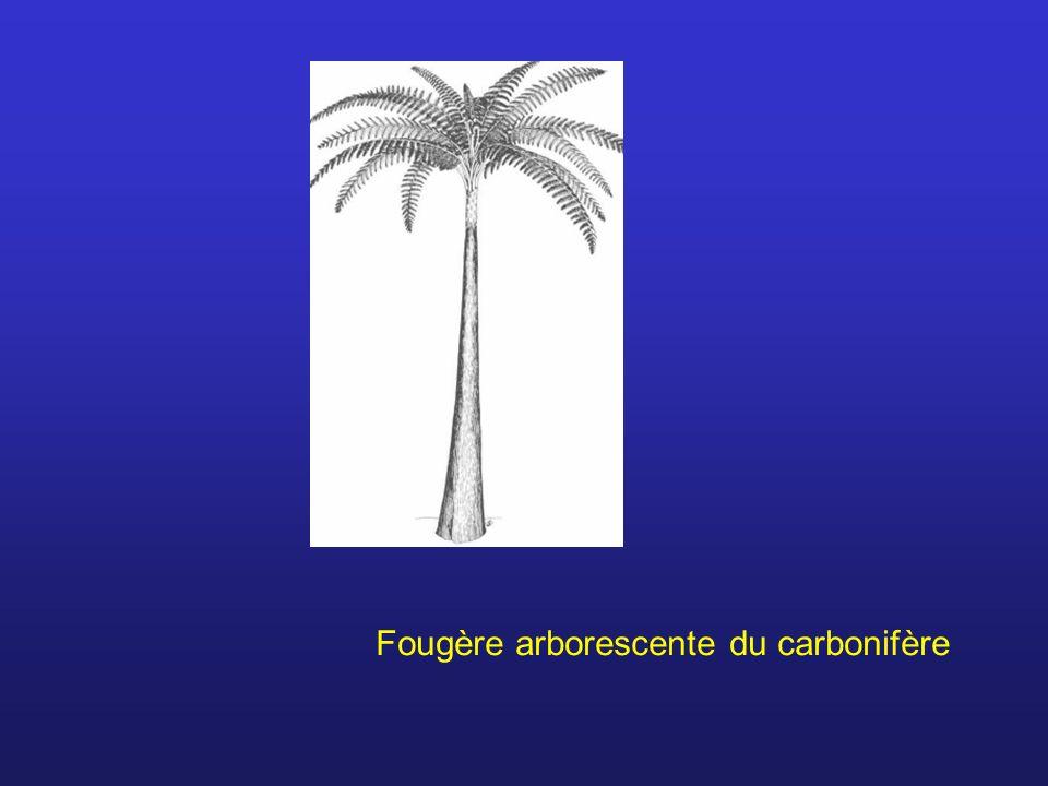 Fougère arborescente du carbonifère