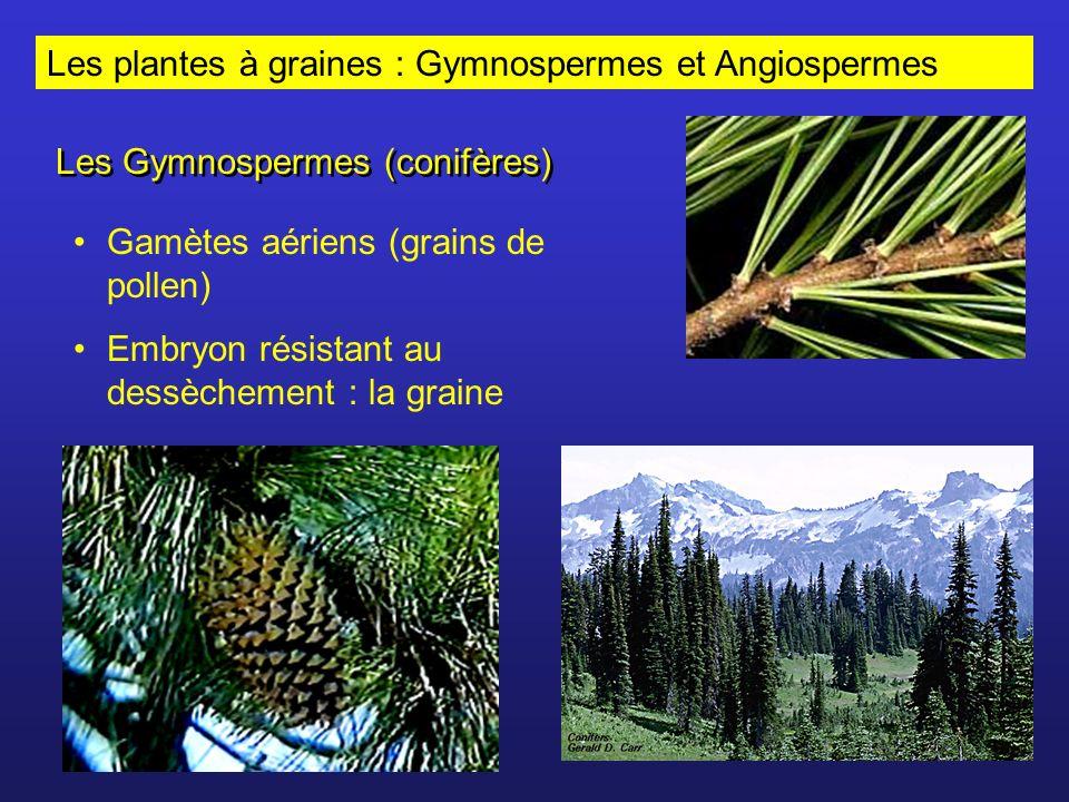 Les plantes à graines : Gymnospermes et Angiospermes Les Gymnospermes (conifères) Gamètes aériens (grains de pollen) Embryon résistant au dessèchement