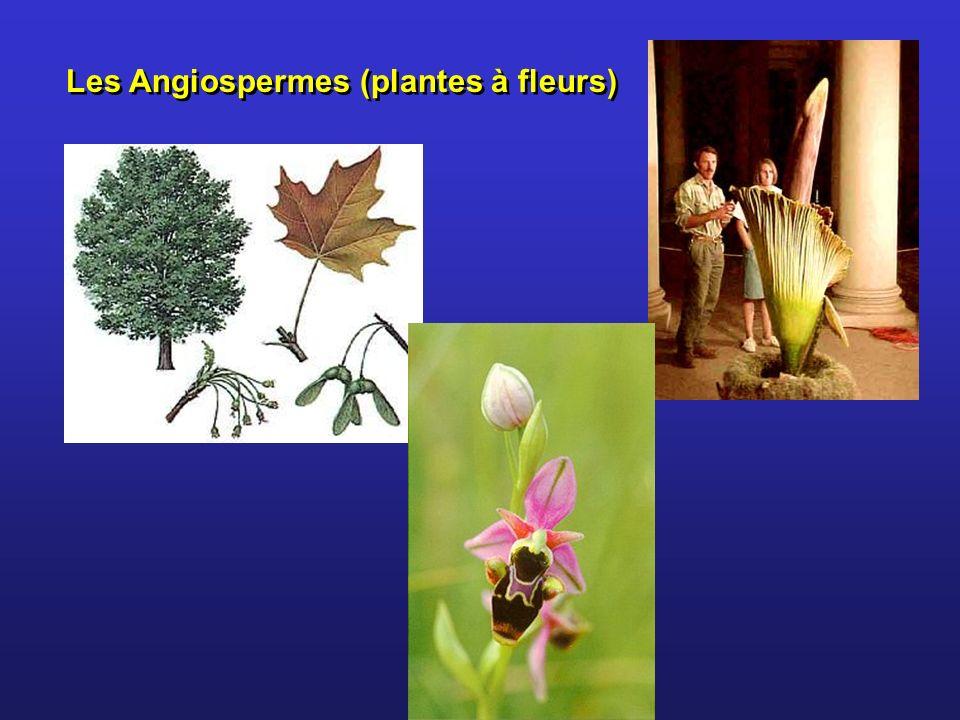 Les Angiospermes (plantes à fleurs)