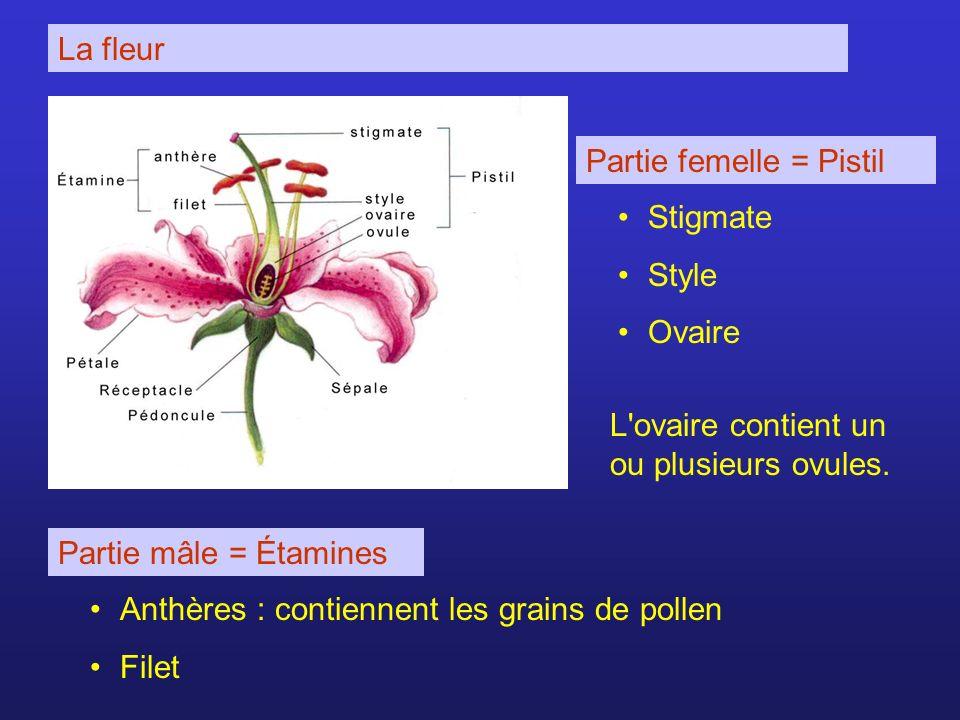 La fleur Partie femelle = Pistil Stigmate Style Ovaire L'ovaire contient un ou plusieurs ovules. Partie mâle = Étamines Anthères : contiennent les gra