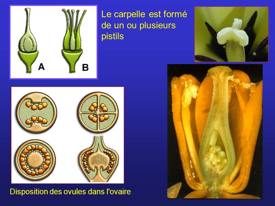 Le carpelle est formé de un ou plusieurs pistils Disposition des ovules dans l'ovaire