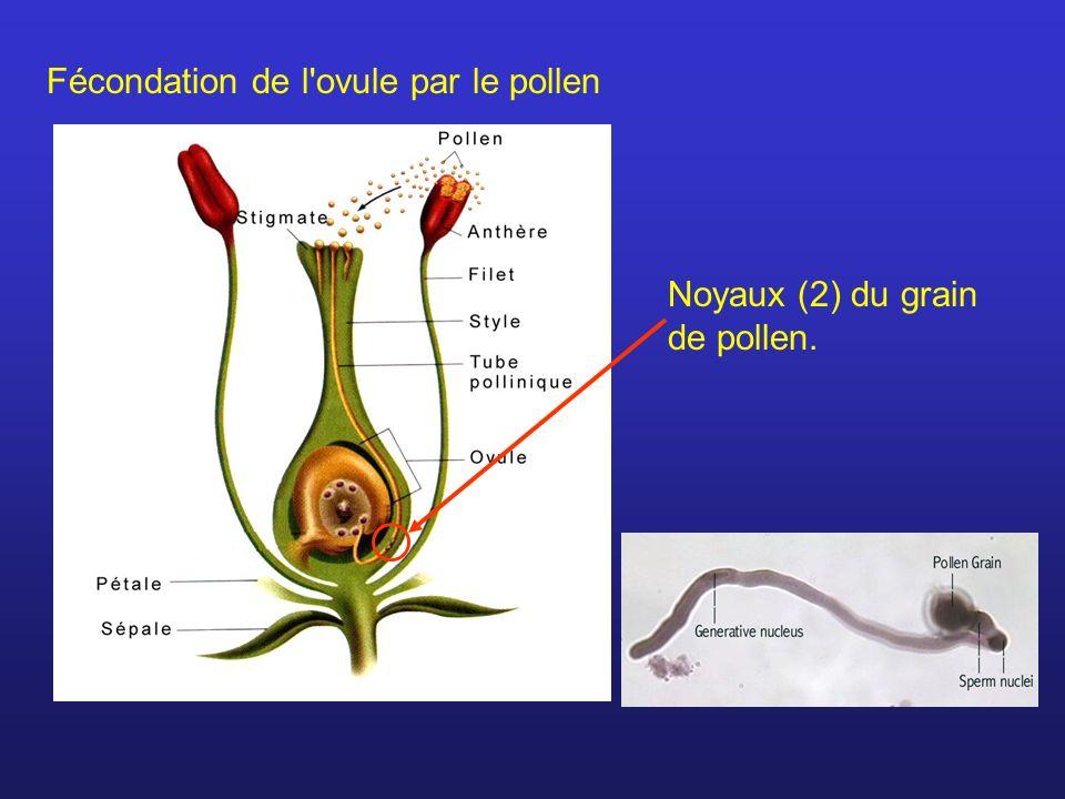 Fécondation de l'ovule par le pollen Noyaux (2) du grain de pollen.