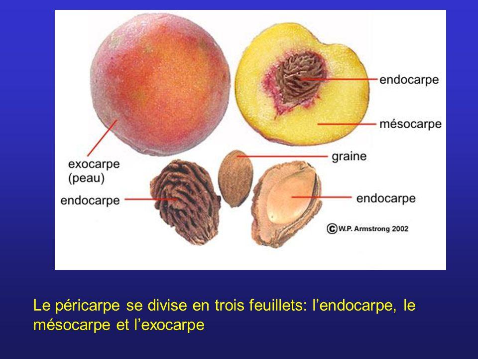 Le péricarpe se divise en trois feuillets: lendocarpe, le mésocarpe et lexocarpe