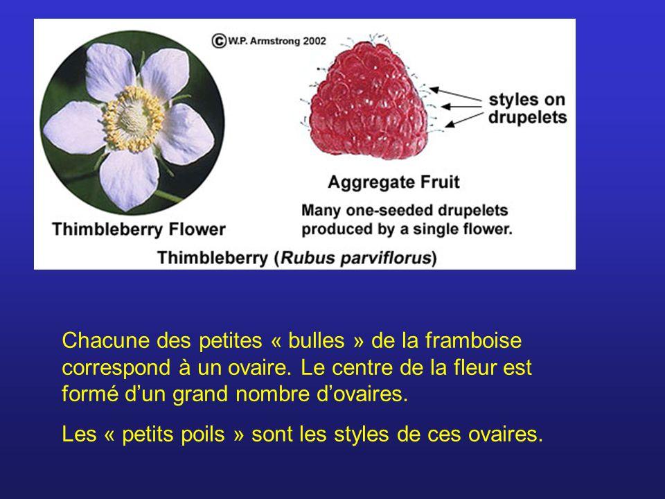 Chacune des petites « bulles » de la framboise correspond à un ovaire. Le centre de la fleur est formé dun grand nombre dovaires. Les « petits poils »