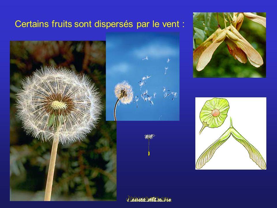 Certains fruits sont dispersés par le vent :