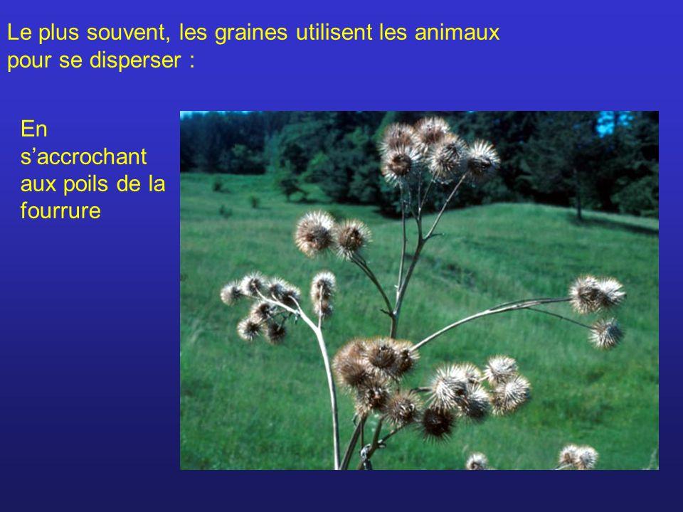 Le plus souvent, les graines utilisent les animaux pour se disperser : En saccrochant aux poils de la fourrure
