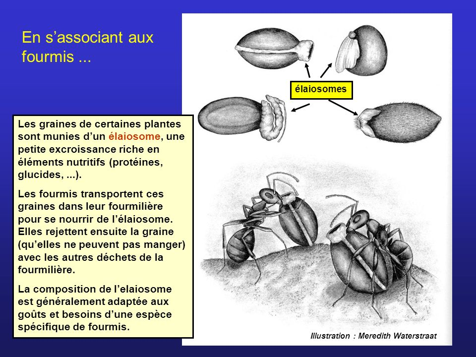 En sassociant aux fourmis... Les graines de certaines plantes sont munies dun élaiosome, une petite excroissance riche en éléments nutritifs (protéine