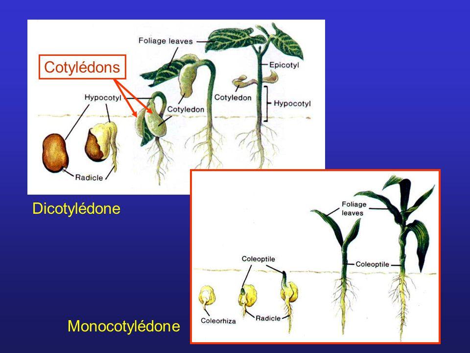 Dicotylédone Monocotylédone Cotylédons