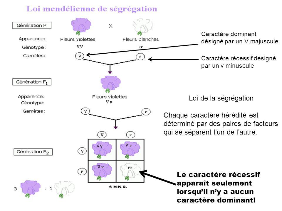 Caractère dominant désigné par un V majuscule Caractère récessif désigné par un v minuscule Loi de la ségrégation Chaque caractère hérédité est déterm