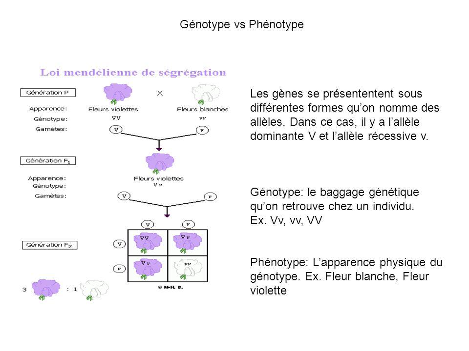 Génotype vs Phénotype Les gènes se présententent sous différentes formes quon nomme des allèles. Dans ce cas, il y a lallèle dominante V et lallèle ré