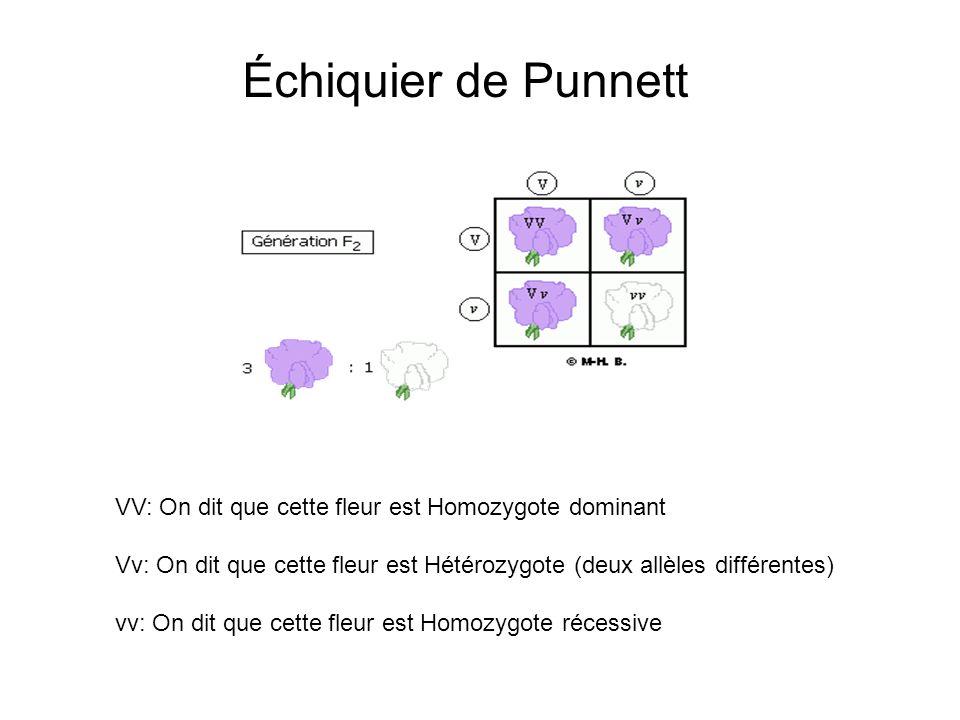 Échiquier de Punnett VV: On dit que cette fleur est Homozygote dominant Vv: On dit que cette fleur est Hétérozygote (deux allèles différentes) vv: On