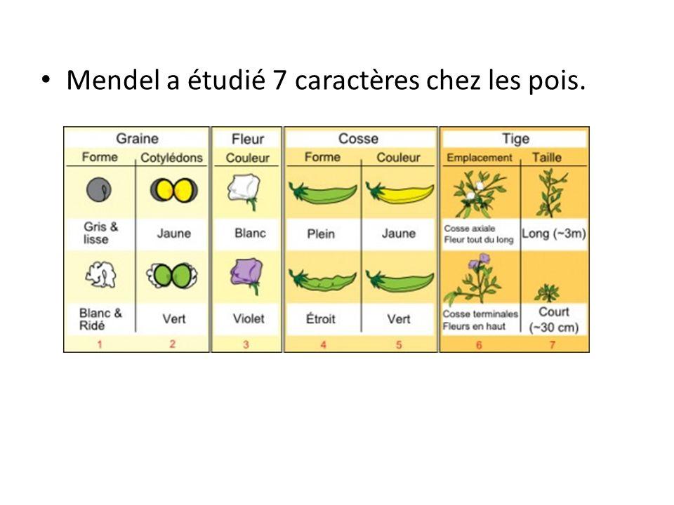 La 1 ère expérience de Mendel: le croisement monohybride Ex: la couleur des fleurs Pourquoi est-ce que la fleur dans la génération F1 est seulement violette et non un mélange de blanc/violet.