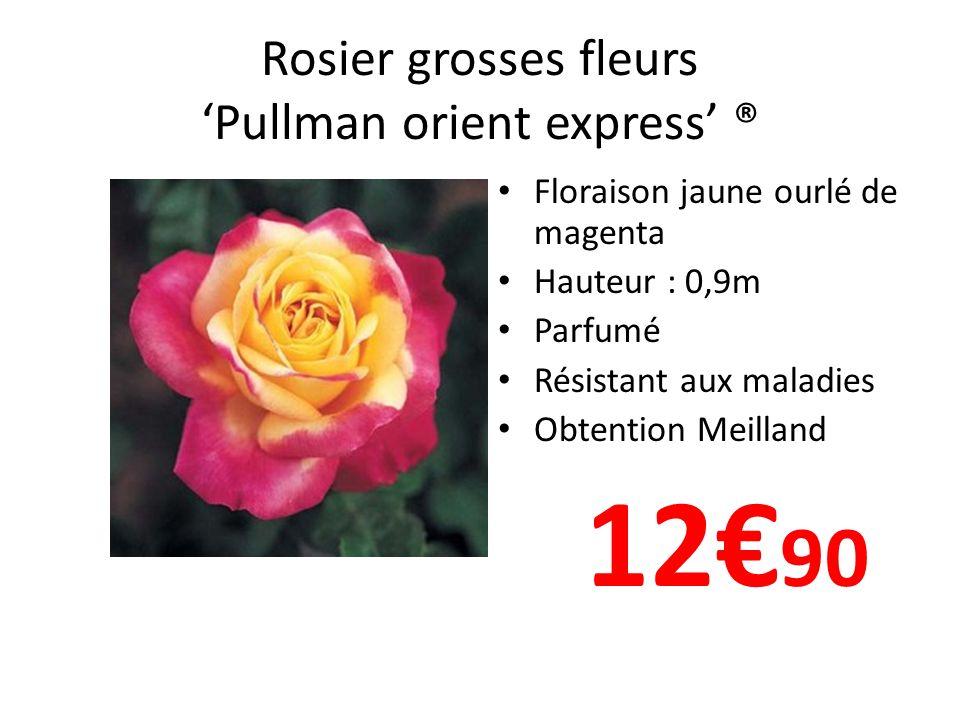 Rosier grosses fleurs Pullman orient express ® Floraison jaune ourlé de magenta Hauteur : 0,9m Parfumé Résistant aux maladies Obtention Meilland 12 90