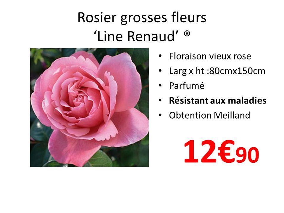 Rosier grosses fleurs Line Renaud ® Floraison vieux rose Larg x ht :80cmx150cm Parfumé Résistant aux maladies Obtention Meilland 12 90