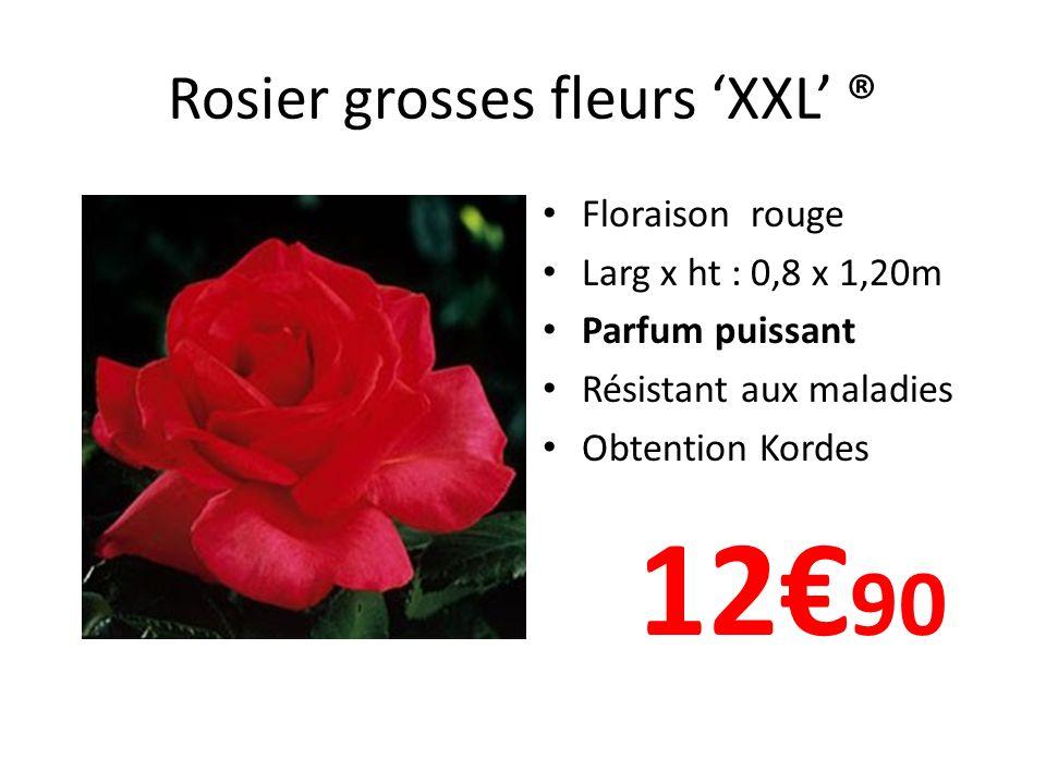 Rosier grosses fleurs XXL ® Floraison rouge Larg x ht : 0,8 x 1,20m Parfum puissant Résistant aux maladies Obtention Kordes 12 90