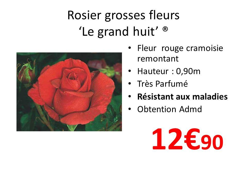 Rosier grosses fleurs Le grand huit ® Fleur rouge cramoisie remontant Hauteur : 0,90m Très Parfumé Résistant aux maladies Obtention Admd 12 90