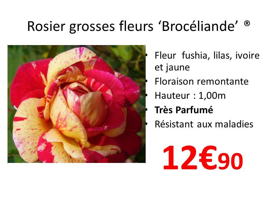 Rosier grosses fleurs Brocéliande ® Fleur fushia, lilas, ivoire et jaune Floraison remontante Hauteur : 1,00m Très Parfumé Résistant aux maladies 12 9