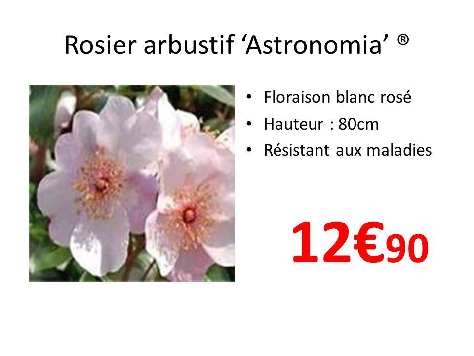 Rosier arbustif Astronomia ® Floraison blanc rosé Hauteur : 80cm Résistant aux maladies 12 90