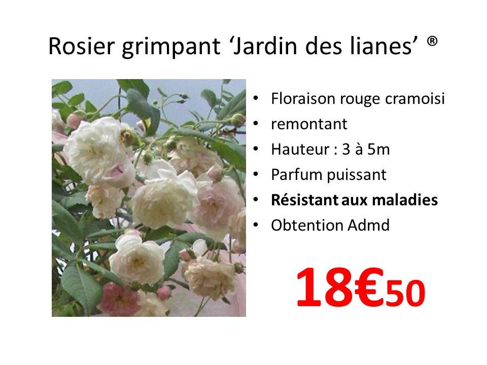 Rosier grimpant Jardin des lianes ® Floraison rouge cramoisi remontant Hauteur : 3 à 5m Parfum puissant Résistant aux maladies Obtention Admd 18 50